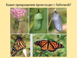 Какие превращения происходят с бабочкой?