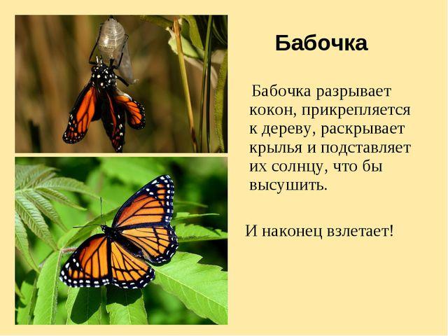 Бабочка Бабочка разрывает кокон, прикрепляется к дереву, раскрывает крылья и...