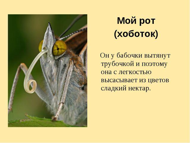 Мой рот (хоботок) Он у бабочки вытянут трубочкой и поэтому она с легкостью вы...