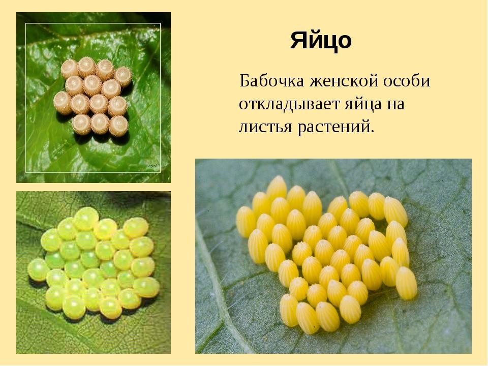 Яйцо Бабочка женской особи откладывает яйца на листья растений.