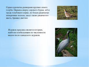 Серая куропатка размерами крупнее сизого голубя. Окраска сверху серовато-бура