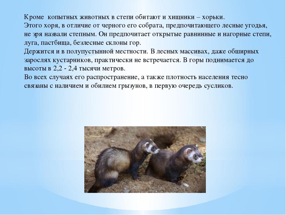 Кроме копытных животных в степи обитают и хищники – хорьки. Этого хоря, в отл...