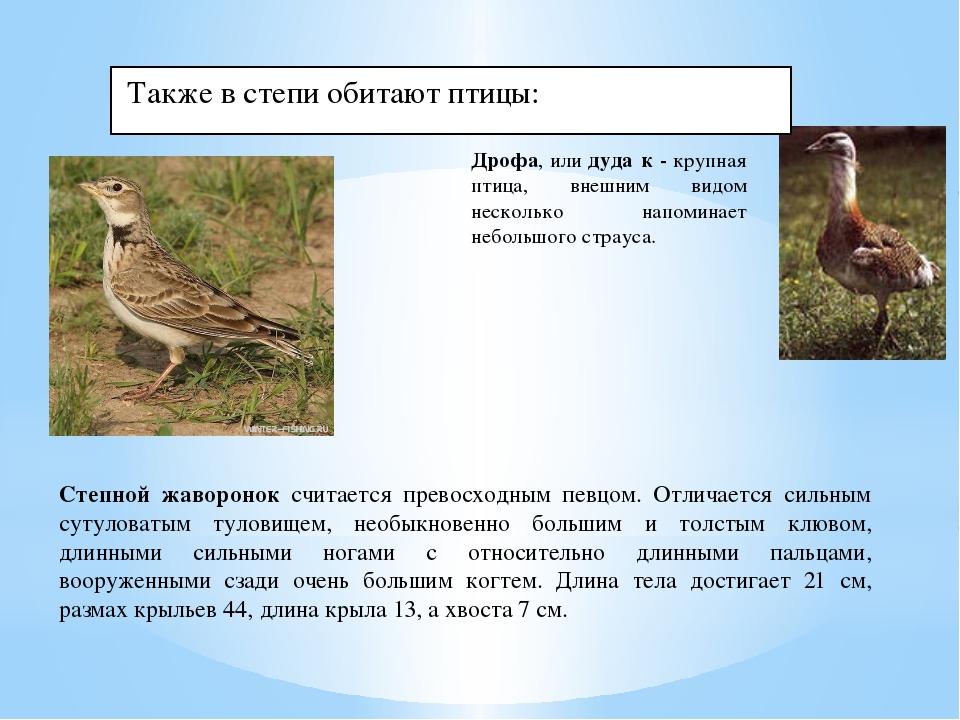 Также в степи обитают птицы: Дрофа, илидуда́к - крупная птица, внешним видо...