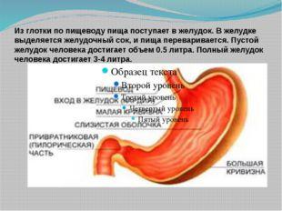 Из глотки по пищеводу пища поступает в желудок. В желудке выделяется желудочн