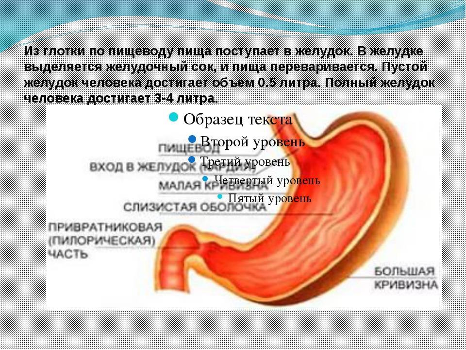 Из глотки по пищеводу пища поступает в желудок. В желудке выделяется желудочн...