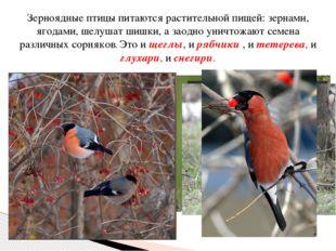 Зерноядные птицы питаются растительной пищей: зернами, ягодами, шелушат шишки
