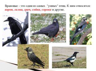 """Врановые - это одни из самых """"умных"""" птиц. К ним относятся: ворон, галка, гра"""