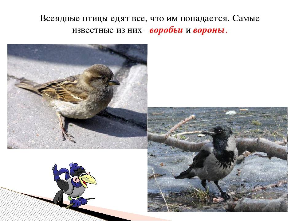 Всеядные птицы едят все, что им попадается. Самые известные из них –воробьи и...