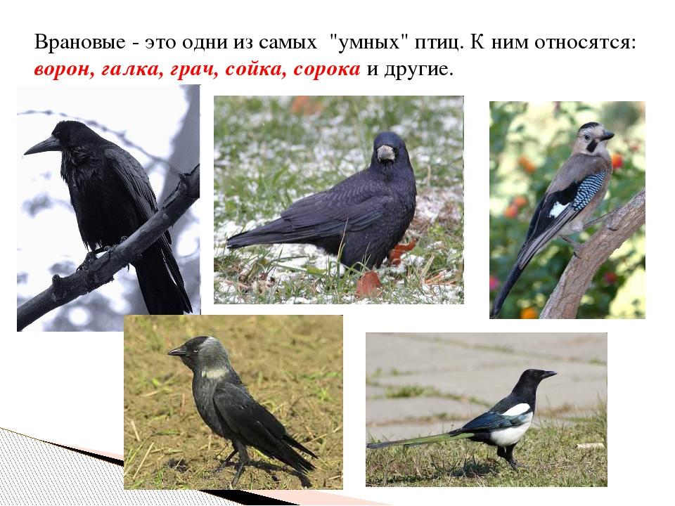 """Врановые - это одни из самых """"умных"""" птиц. К ним относятся: ворон, галка, гра..."""