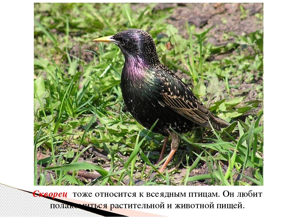 Скворец тоже относится к всеядным птицам. Он любит полакомиться растительной...