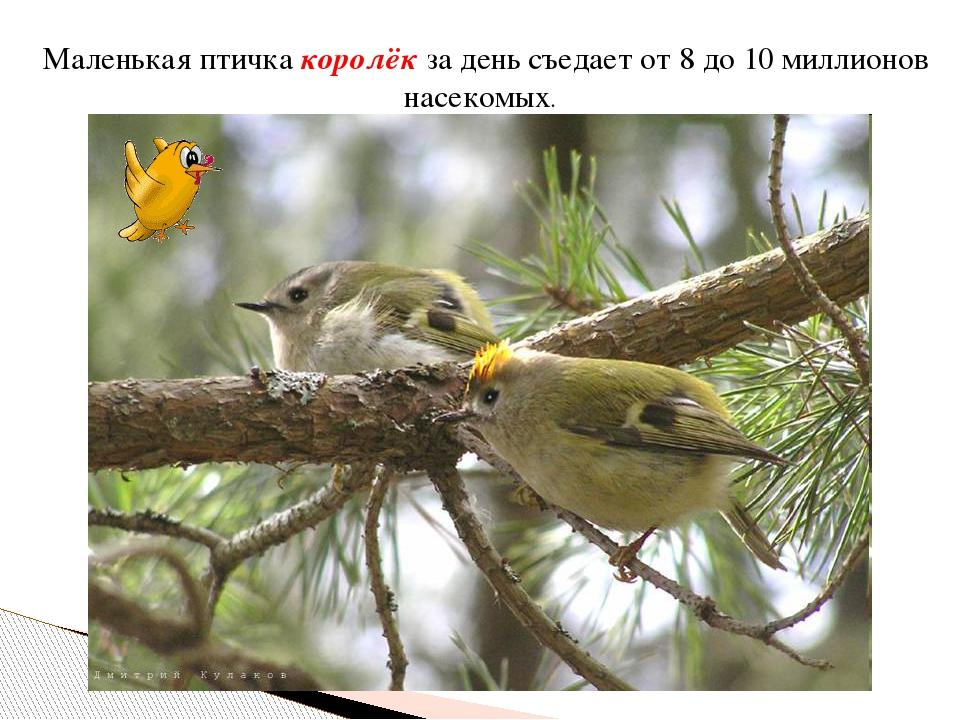 Маленькая птичка королёк за день съедает от 8 до 10 миллионов насекомых.