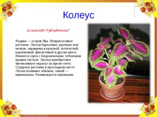 (семейство Губоцветные)        Родина — остров Ява. Неприхотливое растение.