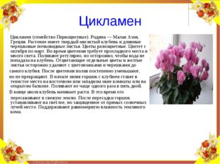 Цикламен (семейство Первоцветные). Родина — Малая Азия, Греция. Растение имее
