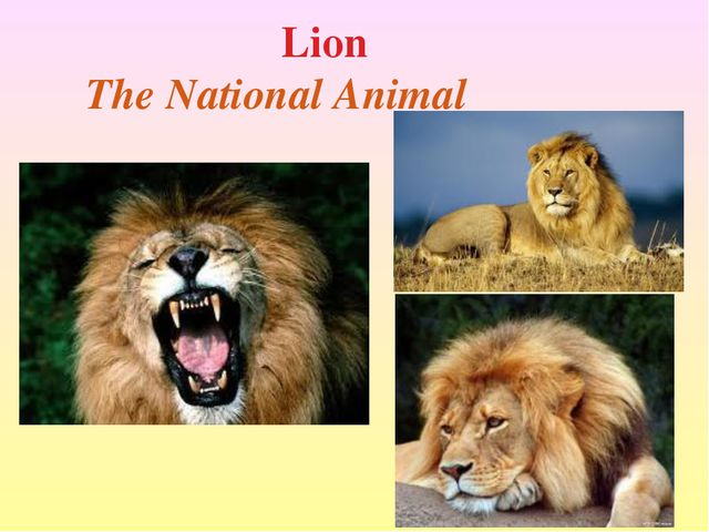 Lion The National Animal