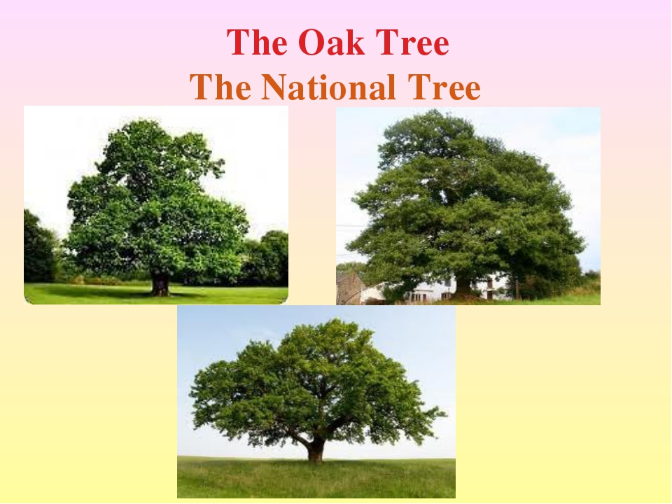 The Oak Tree The National Tree