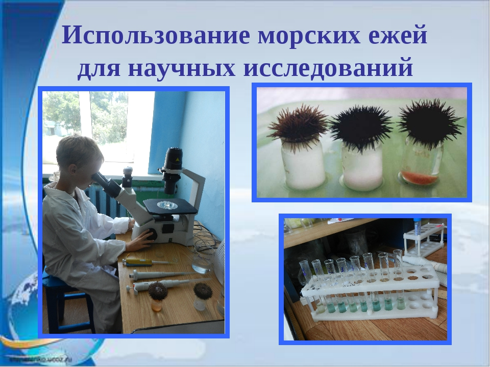 Использование морских ежей для научных исследований