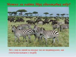 Можно ли найти двух одинаковых зебр? Нет, узор из линий на шкурах так же инди
