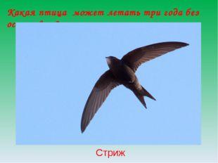 Какая птица может летать три года без остановки? Стриж