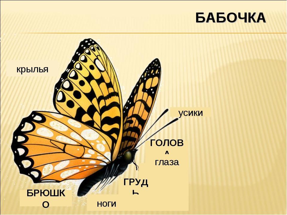 БАБОЧКА ноги ГРУДЬ ГОЛОВА усики БРЮШКО крылья глаза