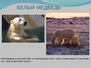 БЕЛЫЙ МЕДВЕДЬ Белый медведь в реке ловит рыбу, его добычей может стать – нерп