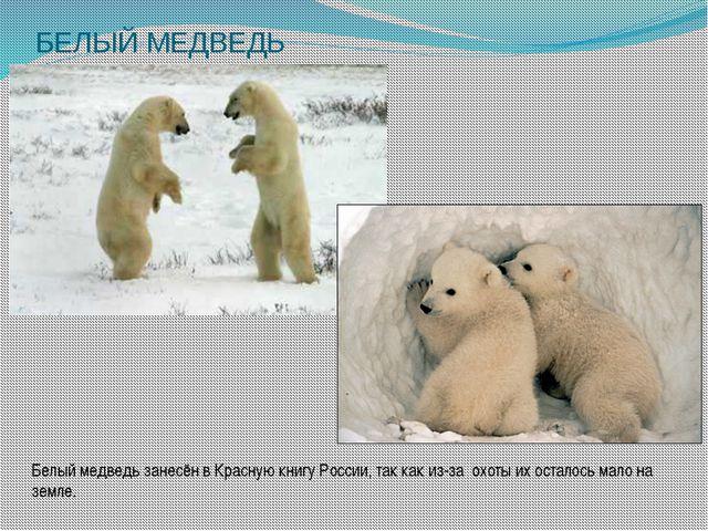БЕЛЫЙ МЕДВЕДЬ Белый медведь занесён в Красную книгу России, так как из-за охо...