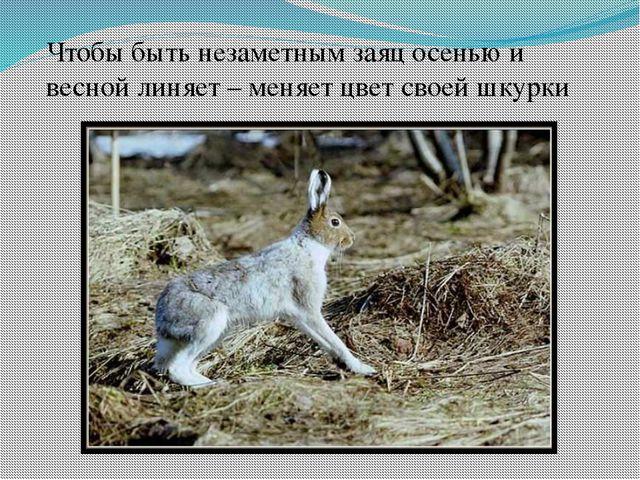 Чтобы быть незаметным заяц осенью и весной линяет – меняет цвет своей шкурки