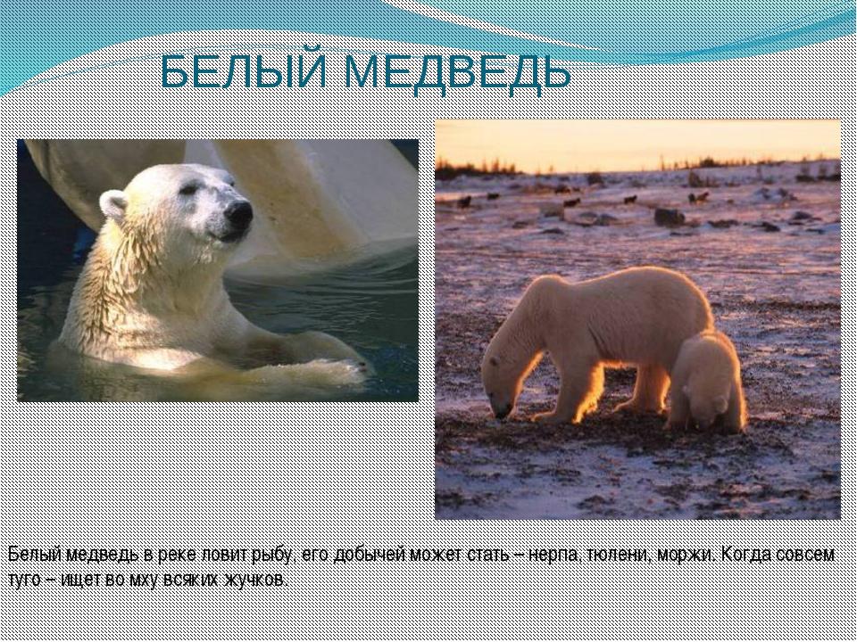 БЕЛЫЙ МЕДВЕДЬ Белый медведь в реке ловит рыбу, его добычей может стать – нерп...