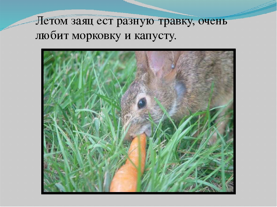 Летом заяц ест разную травку, очень любит морковку и капусту.