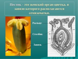 Пестик - это женский орган цветка, в завязи которого располагаются семязачатк