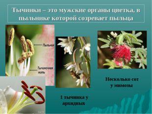 Тычинки – это мужские органы цветка, в пыльнике которой созревает пыльца 1 ты