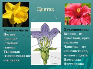 Цветок Околоцветник: Венчик - из лепестков, ярко окрашен Чашечка – из чашелис