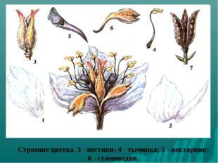 Строение цветка. 3 - пестики; 4 - тычинка; 5 - нектарник; 6 - стаминодии.