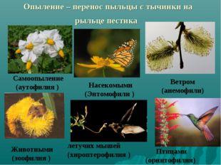 Опыление – перенос пыльцы с тычинки на рыльце пестика Насекомыми (Энтомофили