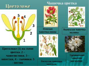 Цветоложе Цветоложе (1) на схеме цветка. 2 – чашелистики. 3 – лепестки, 4 – т