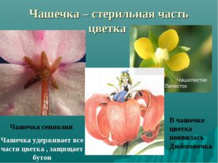 Чашечка – стерильная часть цветка Чашечка сенполии Чашечка удерживает все час