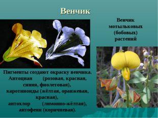 Венчик Венчик мотыльковых (бобовых) растений Пигменты создают окраску венчика