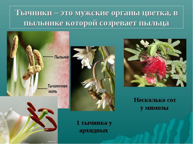 Тычинки – это мужские органы цветка, в пыльнике которой созревает пыльца 1 ты...