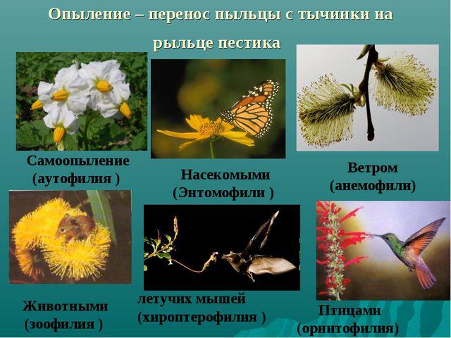 Опыление – перенос пыльцы с тычинки на рыльце пестика Насекомыми (Энтомофили...