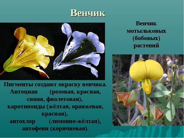 Венчик Венчик мотыльковых (бобовых) растений Пигменты создают окраску венчика...