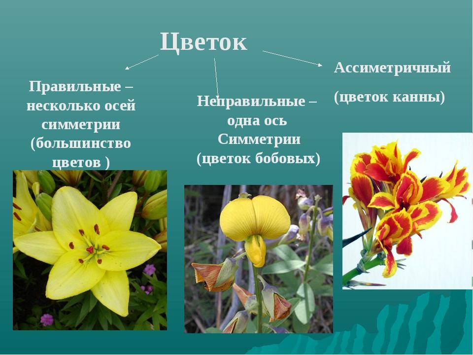 Правильные –несколько осей симметрии (большинство цветов ) Неправильные – одн...
