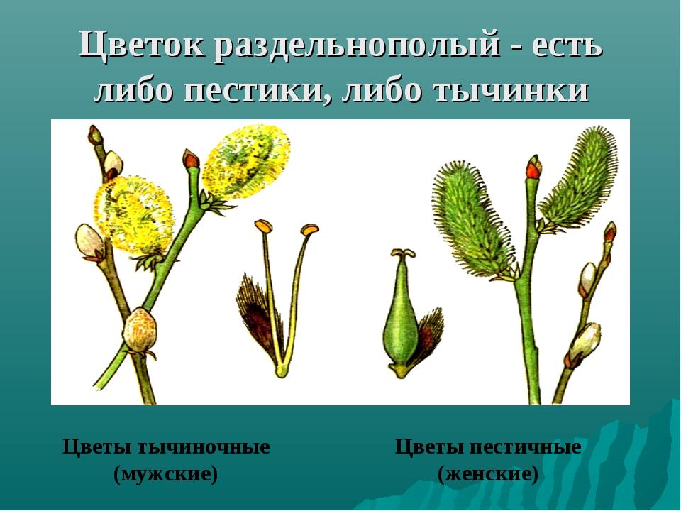 Цветок раздельнополый - есть либо пестики, либо тычинки Цветы тычиночные (муж...