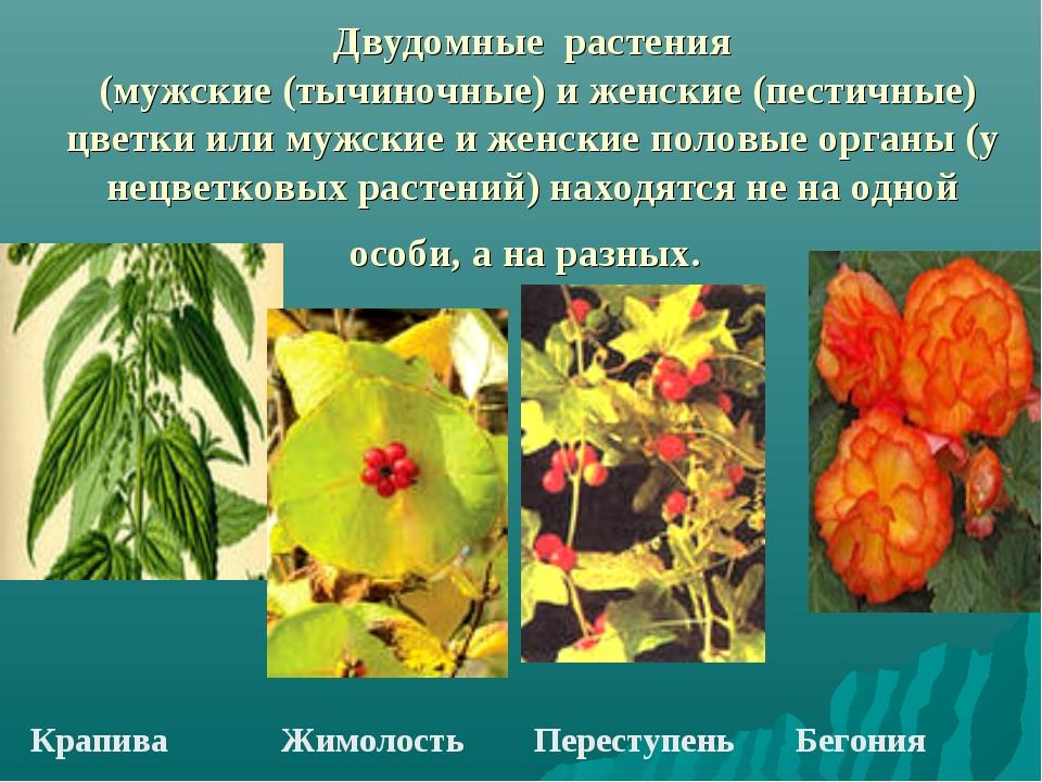 Двудомные растения (мужские (тычиночные) и женские (пестичные) цветки или муж...