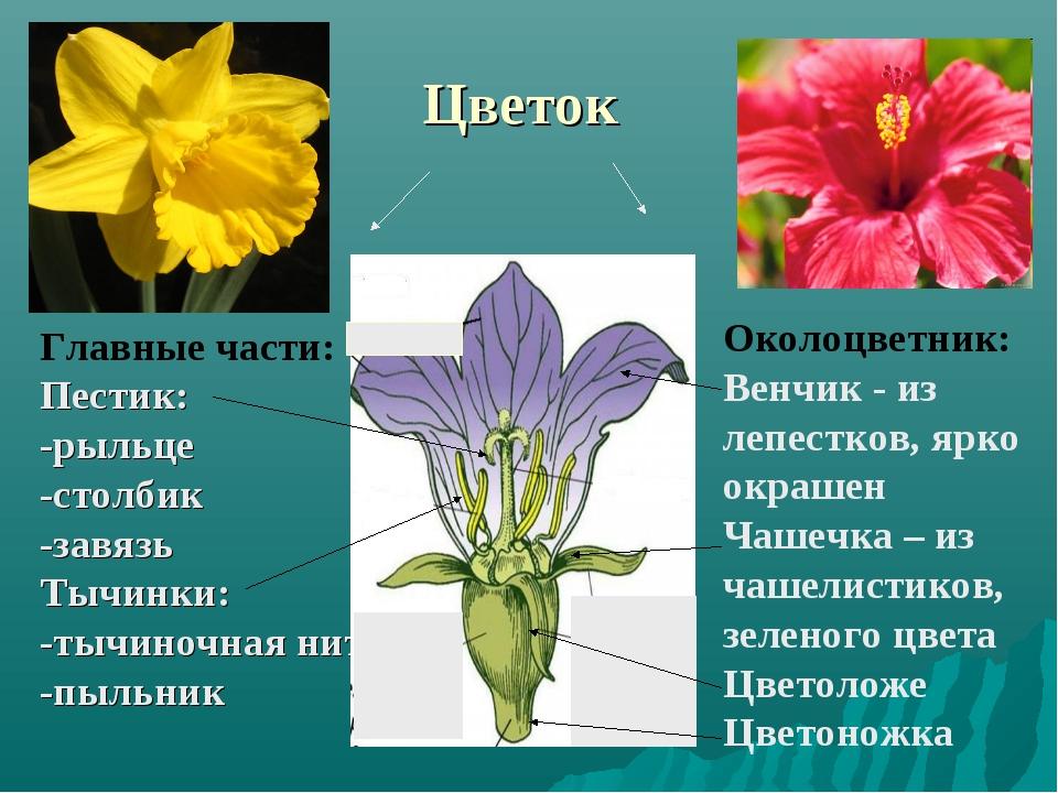 Цветок Околоцветник: Венчик - из лепестков, ярко окрашен Чашечка – из чашелис...