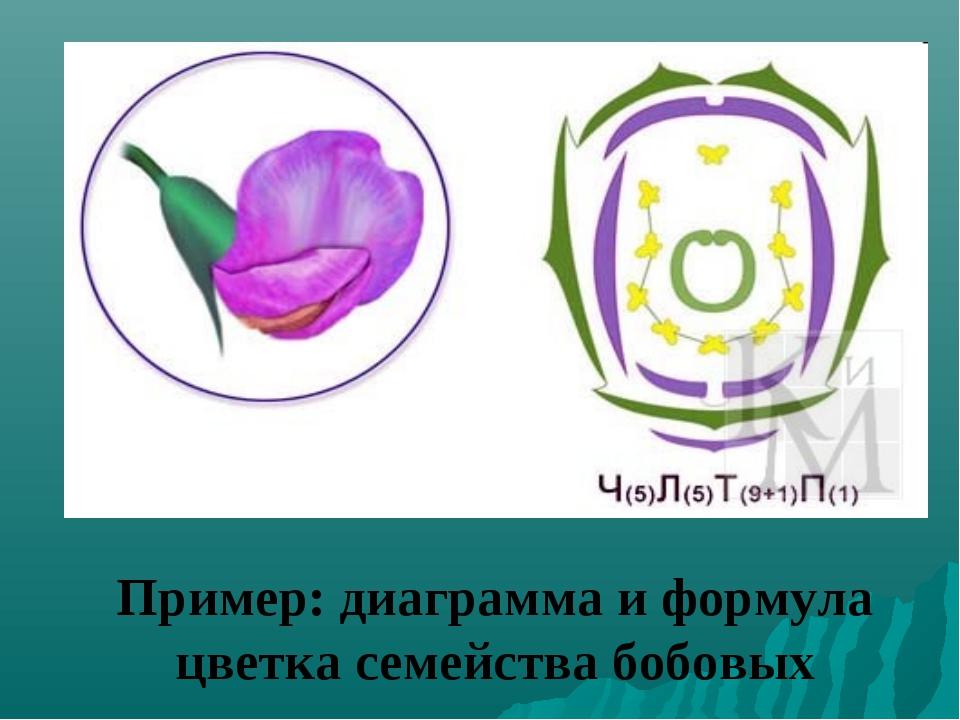 Пример: диаграмма и формула цветка семейства бобовых