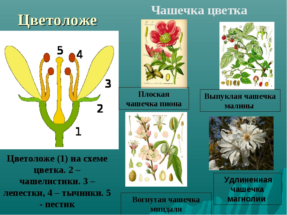 Цветоложе Цветоложе (1) на схеме цветка. 2 – чашелистики. 3 – лепестки, 4 – т...