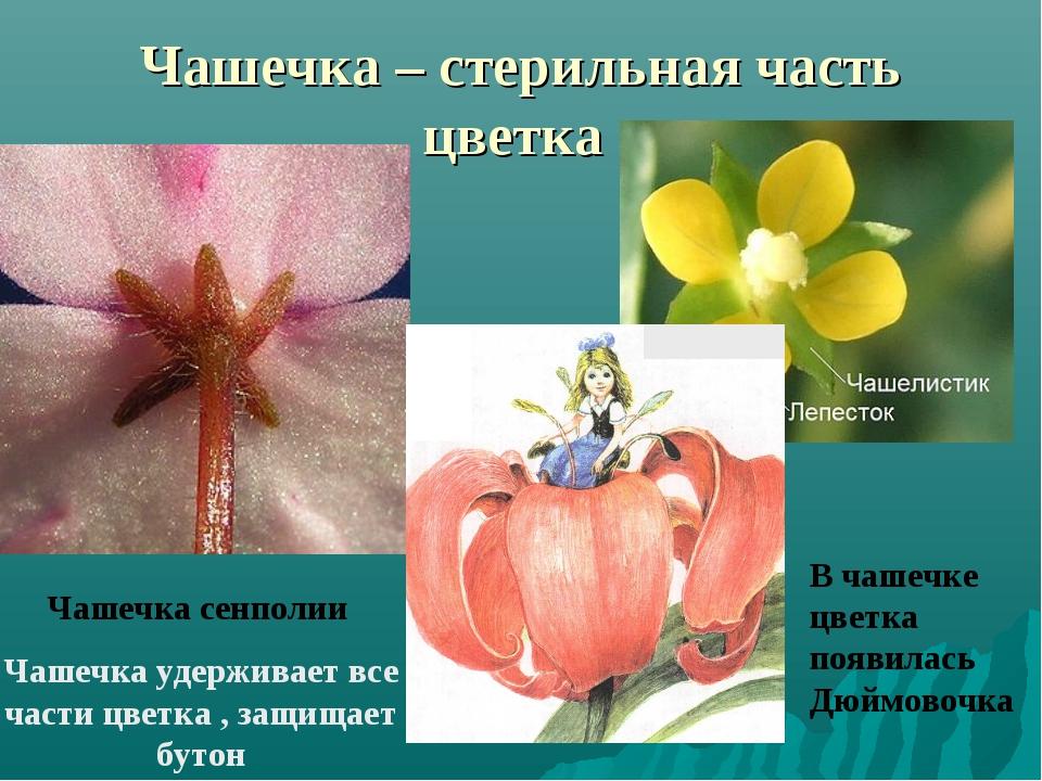 Чашечка – стерильная часть цветка Чашечка сенполии Чашечка удерживает все час...