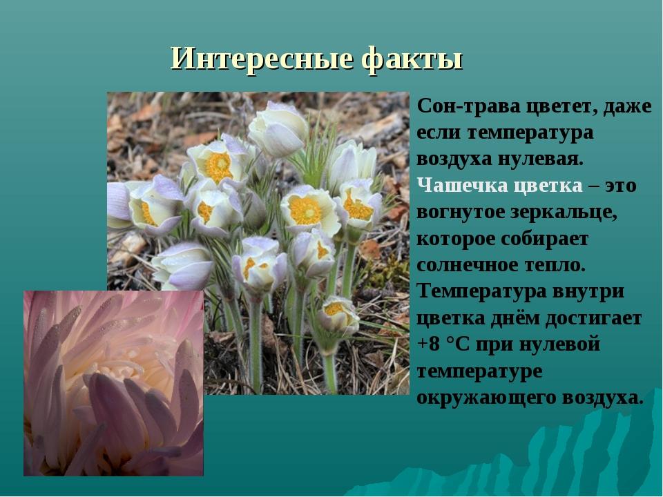 Интересные факты Сон-трава цветет, даже если температура воздуха нулевая. Чаш...