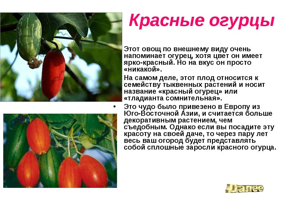 Красные огурцы Этот овощ по внешнему виду очень напоминает огурец, хотя цвет...