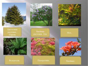 Цветковые растения . Сирень Хвойные растения . Ель Мох. Водоросли. Папоротник