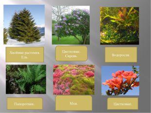 Хвойные растения. Ель. Цветковые. Сирень. Водоросли. Папоротник. Мхи. Цветков